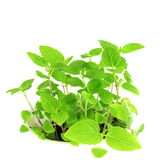 Chia seed plant in pure white background Royalty Free Stock Images