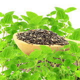 Chia seed in wooden spoon with chia plant in pure white background Royalty Free Stock Photography