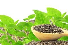 Chia semina il hispanica di Salvia con la pianta con lo spazio della copia del testo Fotografie Stock