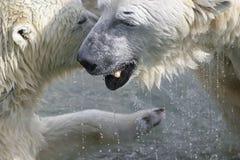 Chiacchierata degli orsi Fotografia Stock