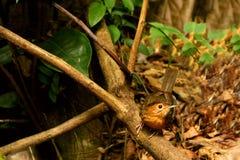 chiacchierone Brown-ricoperto, fuscocapillus di Pellorneum dalla Sri Lanka Fotografie Stock