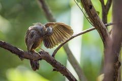 Chiacchierone dal becco giallo nel parco nazionale di Minneriya, Sri Lanka Fotografia Stock Libera da Diritti