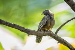 Chiacchierone dal becco giallo nel parco nazionale di Minneriya, Sri Lanka Fotografie Stock Libere da Diritti