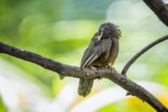 Chiacchierone dal becco giallo nel parco nazionale di Minneriya, Sri Lanka Immagine Stock Libera da Diritti