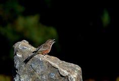 Chiacchierone della collina degli uccelli Fotografie Stock Libere da Diritti