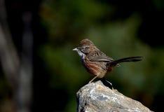 Chiacchierone della collina degli uccelli Immagine Stock Libera da Diritti