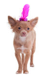 Chiahuahua puppy wearing a funny furry hat Stock Photos