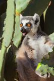 Chiamata del cattta delle lemure, lemure catta, ritrattistica con gli occhi arancio Fotografia Stock