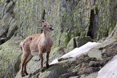 Chiamata della capra dello stambecco dell'alta montagna Immagine Stock Libera da Diritti