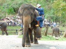 """CHIANG MAI, †de TAILÂNDIA """"6 de maio de 2017: Mostra diária do elefante o 6 de maio de 2017 no acampamento do elefante de MaeSa Fotos de Stock"""