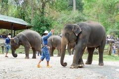 """CHIANG MAI, †de TAILÂNDIA """"6 de maio de 2017: Mostra diária do elefante o 6 de maio de 2017 no acampamento do elefante de MaeSa Foto de Stock Royalty Free"""