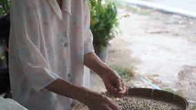 Chiang Mai landskap, Thailand - Maj 23, 2019: Positiv le äldre kvinna som in sorterar till och med arabicakaffebönor lager videofilmer