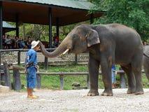 CHIANG MAI, TAILÂNDIA _ 6 DE MAIO DE 2017: Mostra diária do elefante - o elefante está pondo o chapéu sobre a cabeça do ` s do ma Fotografia de Stock Royalty Free