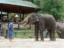 CHIANG MAI, TAILÂNDIA _ 6 DE MAIO DE 2017: Mostra diária do elefante - o elefante está pondo o chapéu sobre a cabeça do ` s do ma Foto de Stock Royalty Free