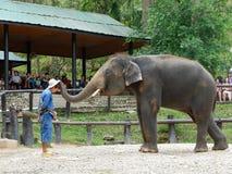 CHIANG MAI, TAILÂNDIA _ 6 DE MAIO DE 2017: Mostra diária do elefante - o elefante está pondo o chapéu sobre a cabeça do ` s do ma Foto de Stock
