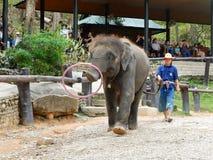 CHIANG MAI, TAILANDIA _ 6 DE MAYO DE 2017: El elefante del bebé juega el aro del hula, demostración diaria del elefante en el cam Fotografía de archivo
