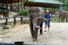 CHIANG MAI, TAILANDIA _ 6 DE MAYO DE 2017: El elefante del bebé juega el aro del hula, demostración diaria del elefante en el cam Imagen de archivo libre de regalías