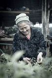 CHIANG MAI, TAILANDIA - 11 GENNAIO: L'agricoltore non identificato anziano p Fotografia Stock