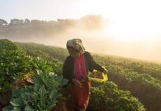 CHIANG MAI, TAILANDIA - 10 GENNAIO: Scelta non identificata dell'agricoltore nella S Fotografia Stock Libera da Diritti