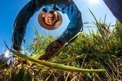CHIANG MAI, TAILANDIA, IL 17 NOVEMBRE: Il harv non identificato degli agricoltori Immagini Stock