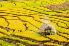 CHIANG MAI, TAILANDIA, IL 18 NOVEMBRE: Il harv non identificato degli agricoltori Immagine Stock Libera da Diritti