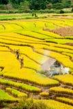 CHIANG MAI, TAILANDIA, IL 18 NOVEMBRE: Il harv non identificato degli agricoltori Fotografie Stock Libere da Diritti