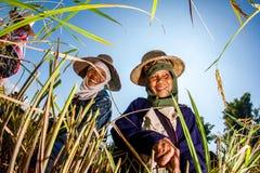 CHIANG MAI, TAILANDIA, IL 17 NOVEMBRE: Il harv non identificato degli agricoltori Fotografia Stock Libera da Diritti