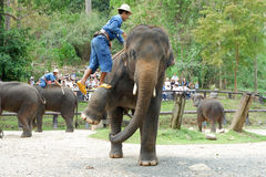 "CHIANG MAI, THAILAND-†""am 6. Mai 2017: Tägliche Elefantshow am 6. Mai 2017 am MaeSa-Elefantlager, Chiang Mai, Thailand Lizenzfreie Stockfotografie"