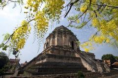 CHIANG MAI THAILAND - APRIL 3, den Wat Jedi Luang templet med trädguling för guld- dusch blommar på sommarsäsong royaltyfria foton