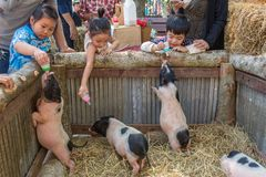 Thai kids feeding piglets on farmers market in Chiang Mai, Thailand. stock photography