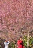 CHIANG MAI Thailand - 22 Januari 2018: Turister som tar bilder av den härliga trädträdgården för körsbärsröd blomning på Thailand royaltyfria bilder