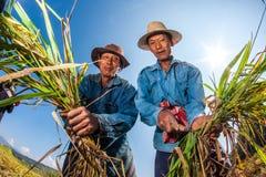CHIANG MAI, THAILAND, NOVEMBER 17: The unidentified farmers harv Royalty Free Stock Photos