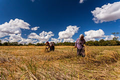 CHIANG MAI.THAILAND – OCT 20 : The old man and women Thai farmer collaborating at the harvest, October 20 , 2015 Stock Images