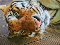 Chiang Mai, Tiger Kingdom, eine Katze ist immer eine Katze, enorm aber eine Katze Lizenzfreies Stockfoto