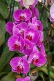 Chiang Mai University Park Orchid Flower Stockfotos