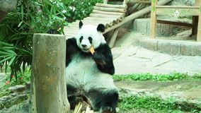 Chiang Mai Zoo, Chiang Mai Province, Tailandia del Nord video d archivio