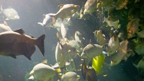 CHIANG MAY, THAILAND - 02 DEC 2013: Diver feed freshwater stingray in big aquarium in Chiang May Giant Panda Zoo stock video