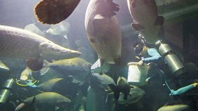 CHIANG MAY, THAILAND - 02 DEC 2013: Divers feed arapaimas in big aquarium in Chiang May Giant Panda Zoo stock video