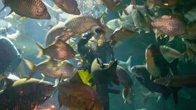 CHIANG MAY, THAILAND - 02 DEC 2013: Divers feed fishs in big aquarium in Chiang May Giant Panda Zoo stock video footage