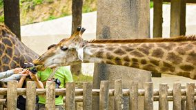 CHIANG MAY, THAILAND - 02 DEC 2013: Tourists and giraffe in Chiang May Giant Panda Zoo stock video