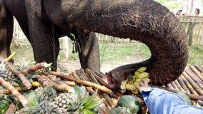 Chiang Rae, Tailandia - 2019-03-13 - festival del banquete del elefante - plátanos de las alimentaciones de mano al elefante metrajes