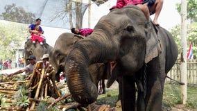 Chiang Rae, Tailandia - 2019-03-13 - festival del banquete del elefante - primer del elefante que toma la caña de azúcar metrajes