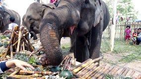 Chiang Rae, Tailandia - 2019-03-13 - festival del banquete del elefante - primer del elefante que toma plátanos almacen de video