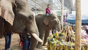 Chiang Rae, Thailand - 2019-03-13 - elephant feast festival - closeup of elephant eating sugar cane.  stock video