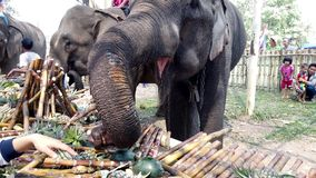 Chiang Rae, Thailand - 2019-03-13 - elephant feast festival - closeup of elephant taking bananas.  stock video