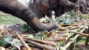 Chiang Rae, Thailand - 2019-03-13 - elephant feast festival - elephant picks food from table.  stock footage