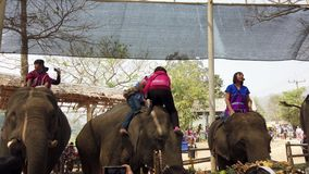 Chiang Rae, Thailand - 2019-03-13 - elephant feast festival - girl in red climbs on elephant head.  stock video