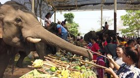 Chiang Rae, Thailand - 2019-03-13 - elephant feast festival - girls feed elephants sugar cane.  stock video footage