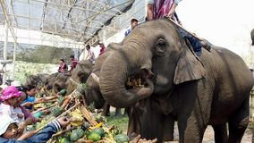 Chiang Rae, Thailand - 2019-03-13 - elephant feast festival - people feed row of elephants bananas and sugar cane.  stock footage