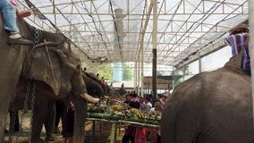 Chiang Rae, Thailand - 2019-03-13 - elephant feast festival - side view of row of elephants eating.  stock video